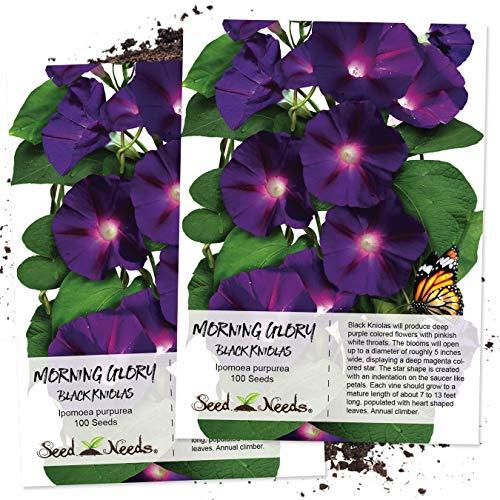 Seed Needs, Black Kniolas Morning Glory (Ipomoea purpurea) Twin Pack of 100 Seeds Each Untreated