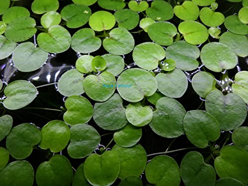 Amazon-Frogbit-Live-Aquarium-Floating-Plant